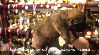 Щенки кавказской овчарки, 15 дней. www.r-risk.ru +79262205603 Ягодкина Татьяна