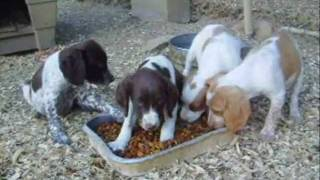8 Week old Brittany pups
