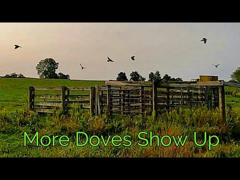 More Dove Hunting Action