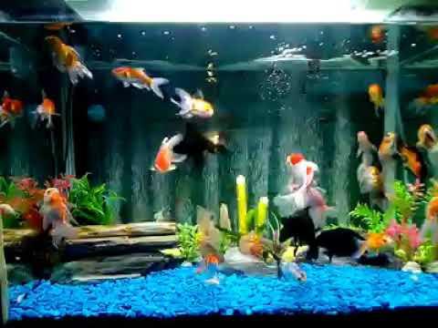 aquascape aquarium koleksi ikan mas koki batuan biru liatnya rh youtube com