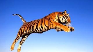 Tigre della malesia