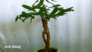 3 cây mai tách ra từ rễ