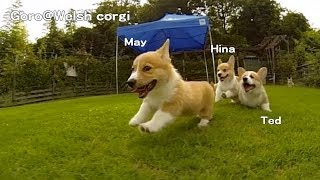 Name Of 20130803 Part 7 Cute Corgi Puppies Run On Grass. / ドッグランを走り回るコーギー子犬