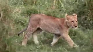 Practice Makes Perfect - Wildlife Specials: Lions - Spy in the Den - BBC