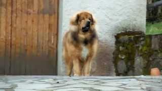 Dogue Du Tibet De La Tsaparang Valley
