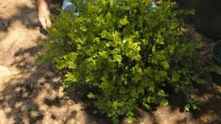 How To Transplant Boxwood Shrubs : Garden Savvy