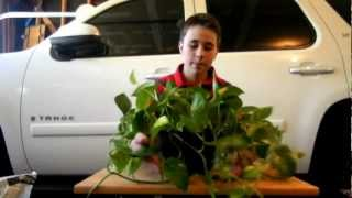How to divide a Pothos or Philodendron houseplant