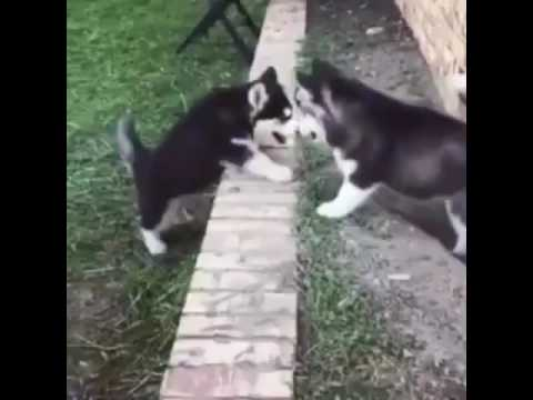 Husky Puppy Helps another Puppy Climb a wall [Subtitles]
