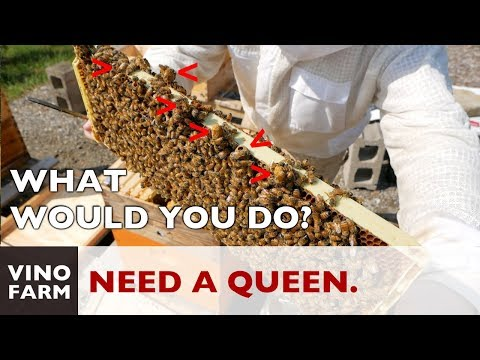 Filled With Swarm Cells - Italian Hive Needs a Queen