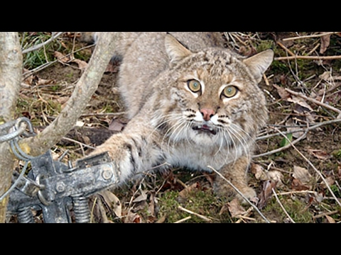 Lets Put An End To Bobcat Trapping!!