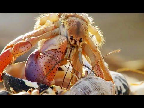 FOU : Des bernard-l'hermites échangent de coquilles - ZAPPING SAUVAGE