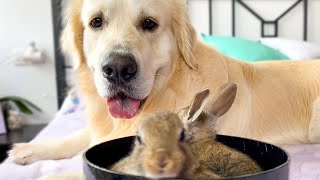 Lovely Golden Retriever Welcomes Cute Baby Bunnies!