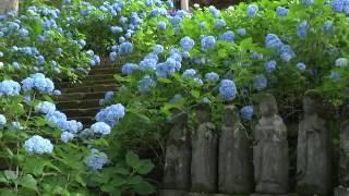 北信濃あじさい寺〜日本の花旅 飯山市高源院〜