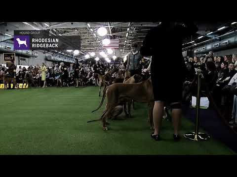 Rhodesian Ridgebacks | Breed Judging 2019