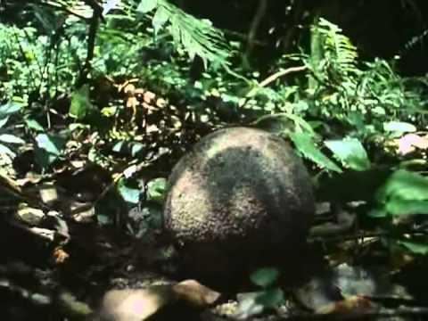 dispersión de semillas- castaño de Brasil.avi