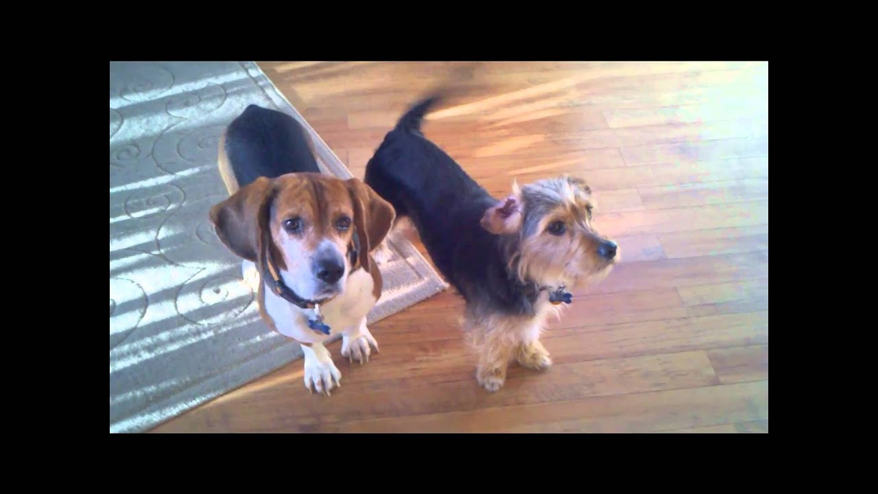 Funny Beagle Head Tilting Action Beagle And Borkie Dogs