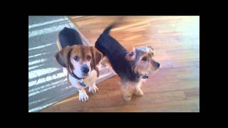 Funny Beagle Head Tilting Action - Beagle And Borkie Dogs