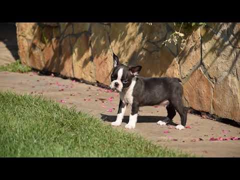 Tarleton - Boston Terrier Puppy for sale