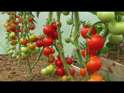 Вопрос: Каким образом туман вреден для помидоров?
