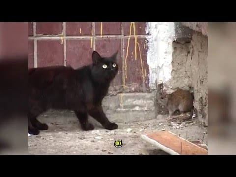 Rat attacks cats || HiCat Evil