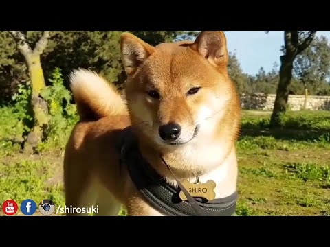Bootiful Shiba Inu / Shiro Close-up