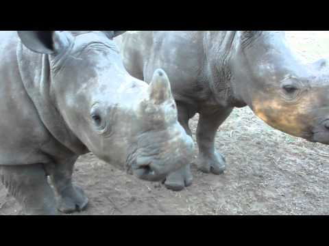 You would never guess this is what a rhino sounds like..