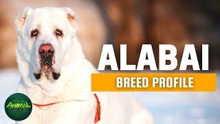 Alabai Dogs 101 | Central Asian Shepherd Dog | A Fearless, Independent, Guardian Dog