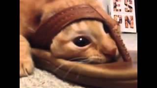 рыжий кот ездеит в тапочке