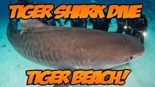 Swimming with Tiger Sharks  Tiger Beach Grand Bahama Island!