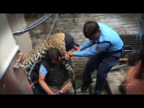 काठमाडौमा चितुवा आंतक A Leopard Enters a Home in Kathmandu Kuleshower