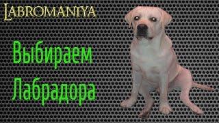Как выбирать щенка лабрадора- описание и советы