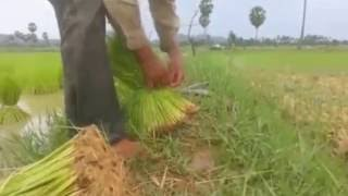 Paddy rice work in Cambodia - Farmers pull seedling
