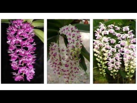 Vẻ đẹp của hoa phong lan Ngọc điểm - Nginh xuân - Đai châu