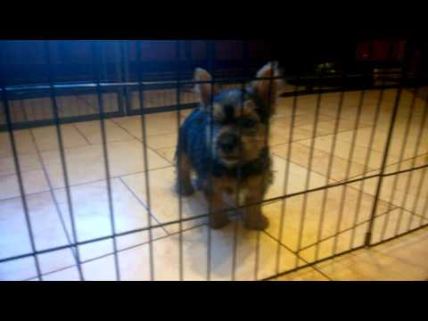 Norwich Terrier puppies puppy FEMALE 1 - D.O.B 20.11.2016.  10 weeks