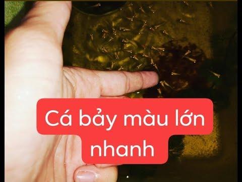 Cá Guppy con mau lớn nhờ 3 bước này Mr Mén TV!