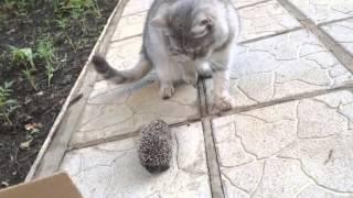 эти забавные животные))))) кошка смотрит на ёжика ))))