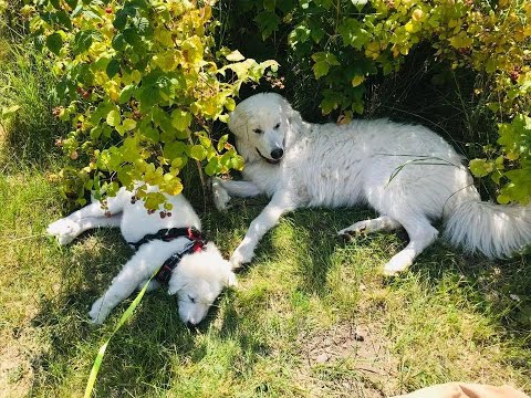 Meet Our Homesteads Maremma Sheepdog Live Stock Guardian Dogs
