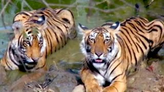 How India does its tiger census