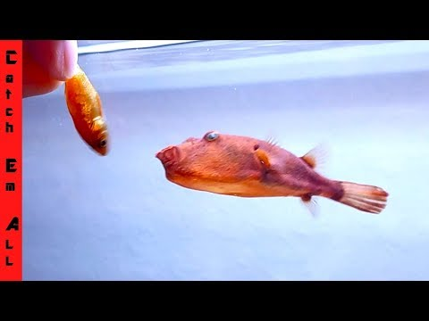 PUFFER FISH love GOLDFISH! thumbnail