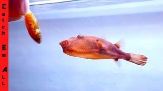 PUFFER FISH love GOLDFISH!