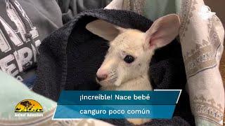 El video de este canguro bebé totalmente blanco es lo más tierno que verás hoy, te lo aseguramos