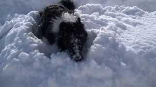 Border Collie playing in the snow 雪の中で遊ぶボーダーコリー