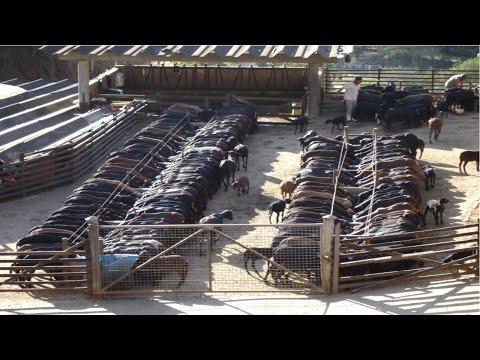 Ovinos - Instalações para Ovinos
