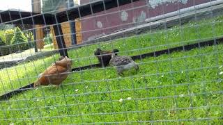 Młode kury zagrodowe.