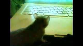 Tańczący szczurek ! Śmieszne zwierzęta :)
