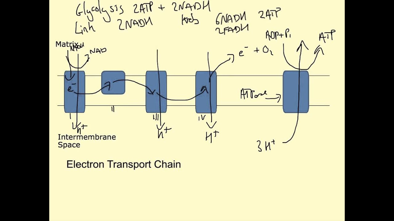 Electron Transport Chain Diagram For Dummies Jeep Wiring Youtube
