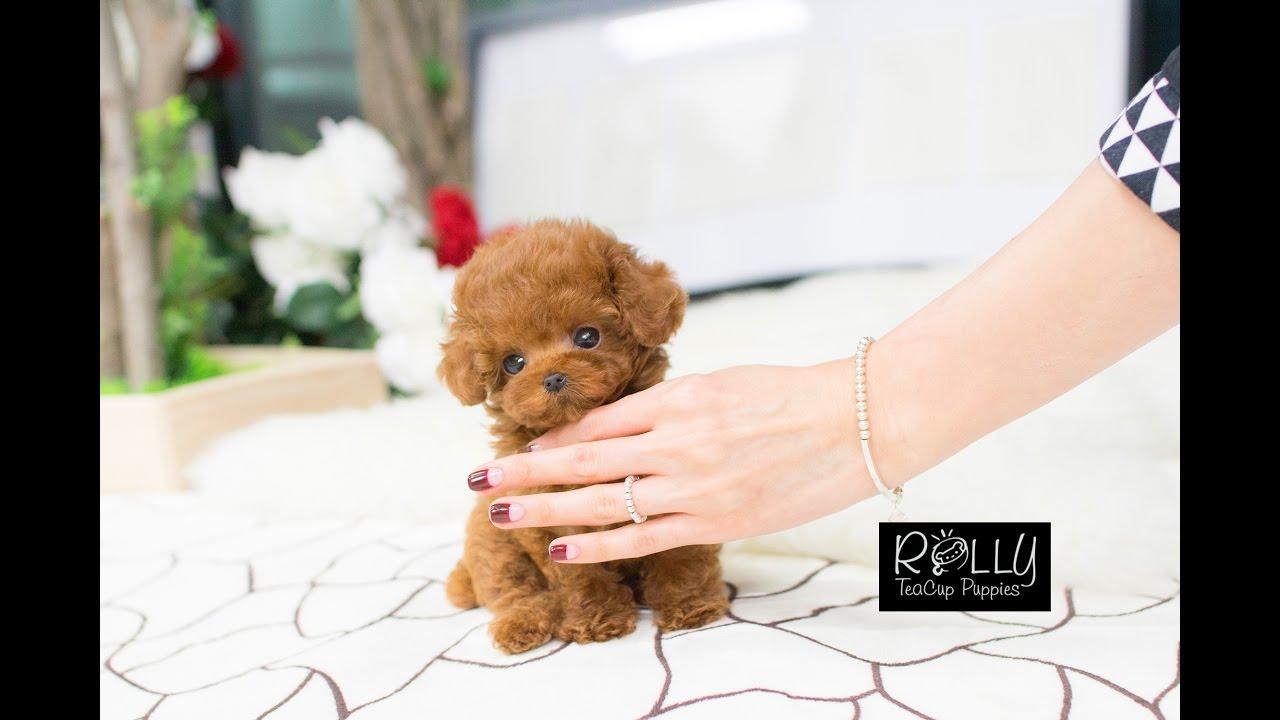 Teddy Bear Poodle Amazing Amount Of Fur D Bridget