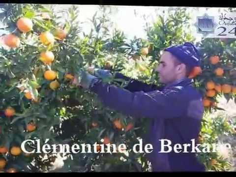 La clémentine de Berkane