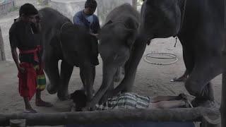 Elephant massage gone wrong