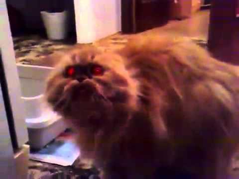 Сиамская  породы Сиамская кошки. Характер